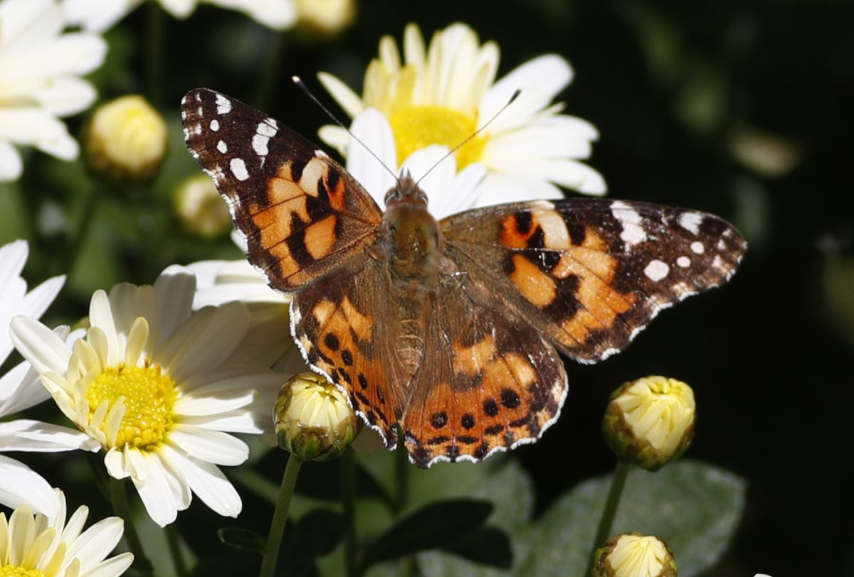 A painted lady butterfly flies near daisies in a garden on Oct. 4, 2017. (AP Photo/David Zalubowski)
