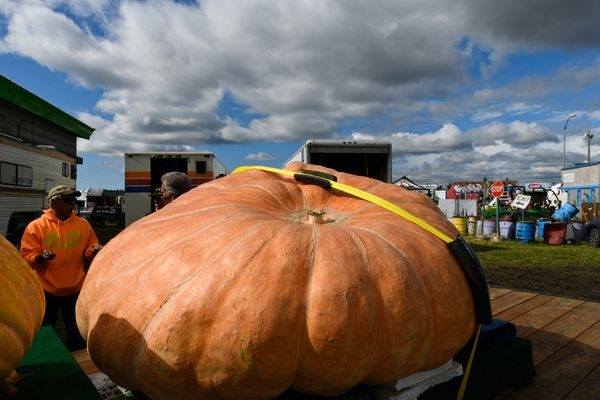 Dale Marshall's biggest pumpkin awaits transport from a truck to the competition arena in the barn at the Alaska State Fair. Dale Marshall of Anchorage broke the Alaska State Fair record in the giant pumpkin weigh-off competition on August 28, 2018. (Marc Lester / ADN)
