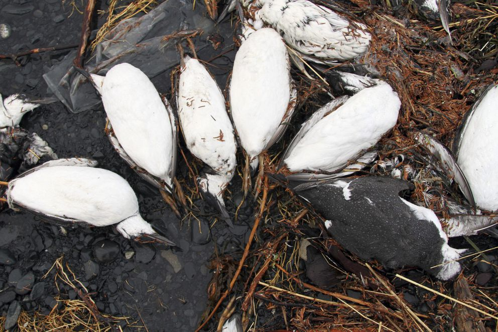 FILE – In this Thursday, Jan. 7, 2016 file photo, dead common murres lie on a rocky beach in Whittier, Alaska. (AP Photo/Mark Thiessen, File)