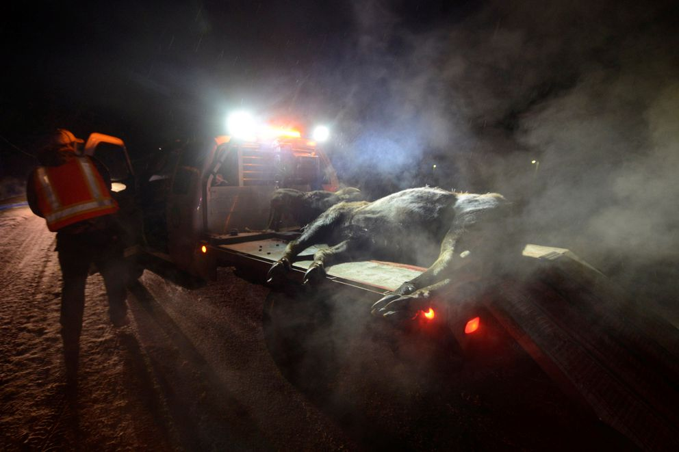 In this Dec. 13, 2013 photo, a volunteer Alaska Moose Federation driver removes a dead moose from the Kenai Spur Highway in Kenai. (AP Photo/Peninsula Clarion, Rashah McChesney)
