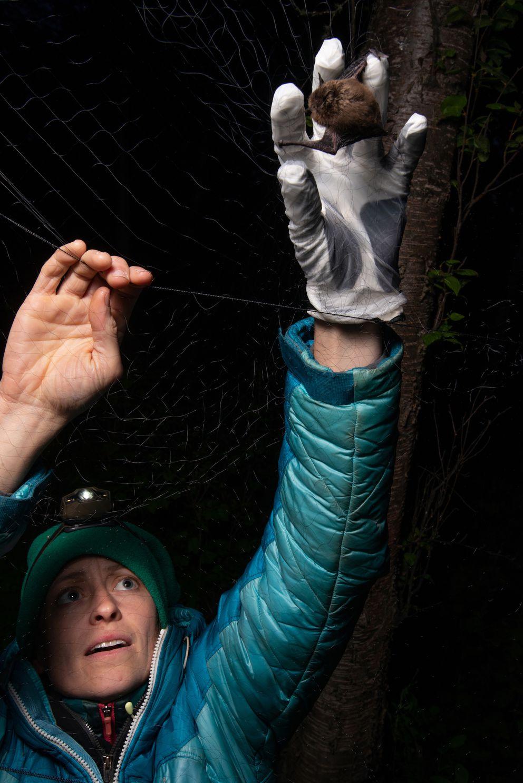Biologist Jesika Reimer removes a little brown bat from a mist net on Joint Base Elmendorf-Richardson in 2018. (James Evans / University of Alaska Anchorage)