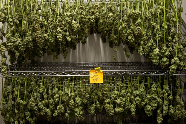 """Marijuana dries at Great Northern Cannabis on September 6, 2017. Harvest season comes every couple weeks at the Great Northern Cannabis growing facility in South Anchorage. On Sept. 6, employees cut and trimmed plants for drying while hundreds of pots were moved into flowering rooms. Jordan Huss, vice president, said the company began growing in February and had its first harvest in May. Though the company is now in the rhythm of perpetual harvesting, it'll take time before it's profitable considering the investment it took to get this far, he said. """"We're not looking at this as a get-rich-quick scheme. We're looking at this for longevity.""""on September 6, 2017. (Marc Lester / Alaska Dispatch News)"""