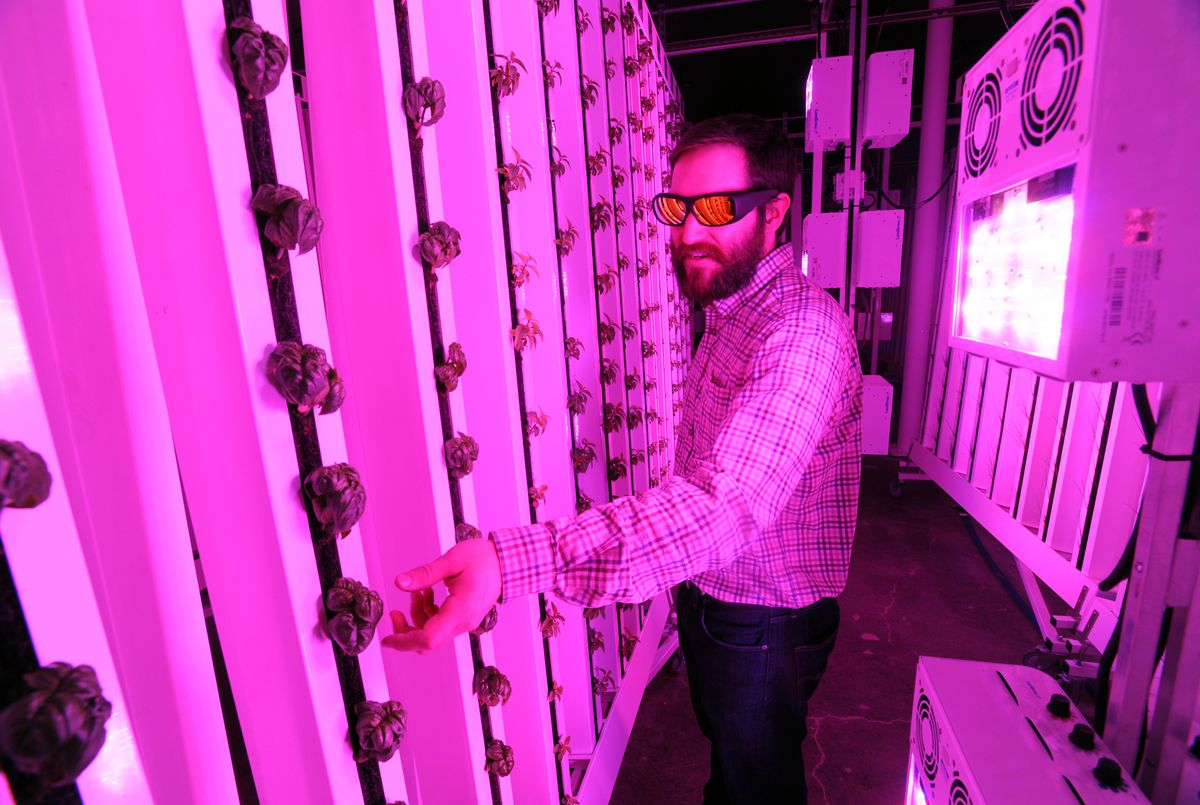 Greenhouse manager Ryan Witten checks plants growing in vertical hydroponic towers while wearing sunglasses to protect his eyes from bright LED grow lights at Alaska Seeds of Change on Wednesday, Jan. 11, 2017, in Midtown Anchorage. (Erik Hill / Alaska Dispatch News)