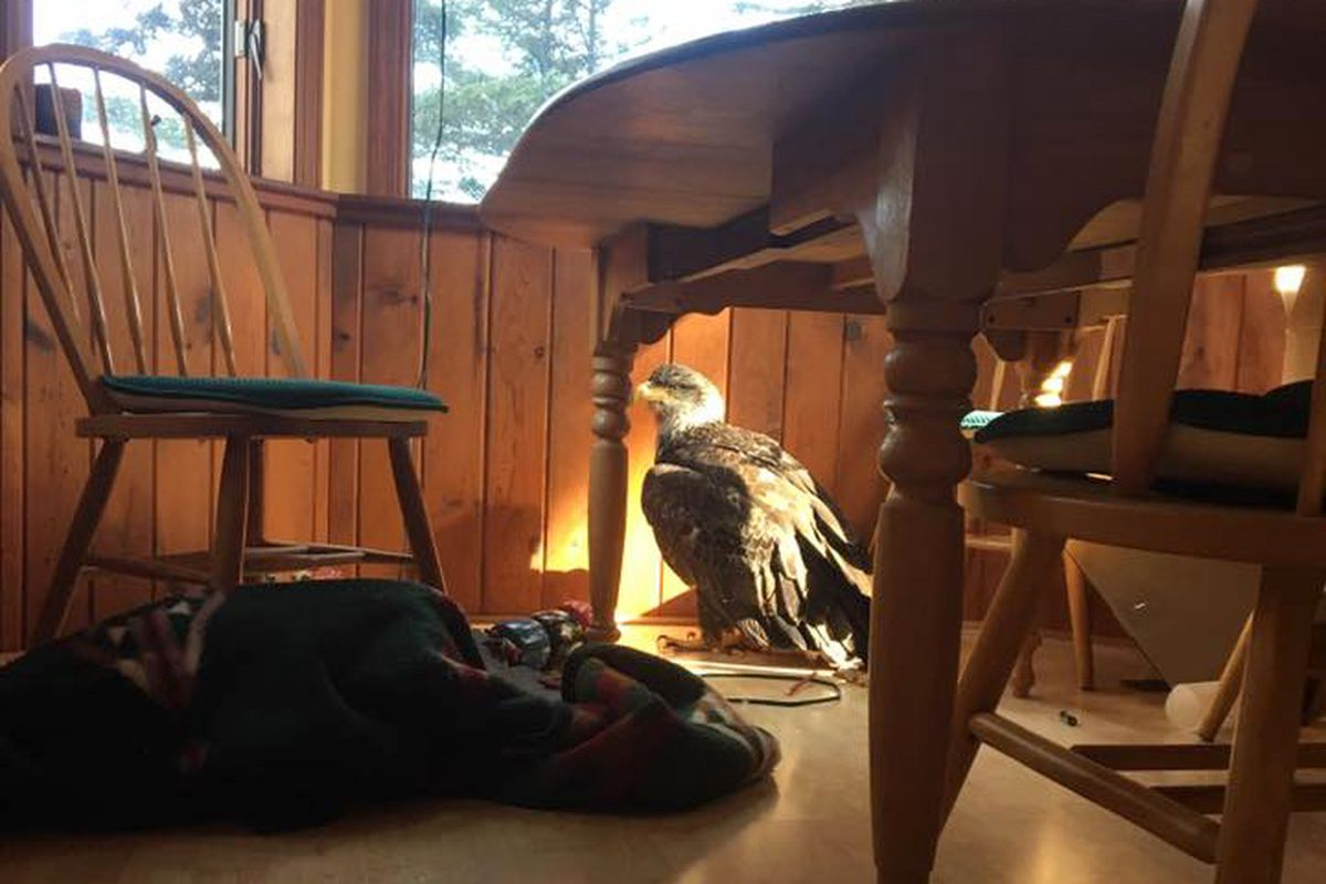 An eagle flew through a window in Stacy Studebaker's home in Kodiak Saturday May 5, 2019. (Photo by Stacy Studebaker)
