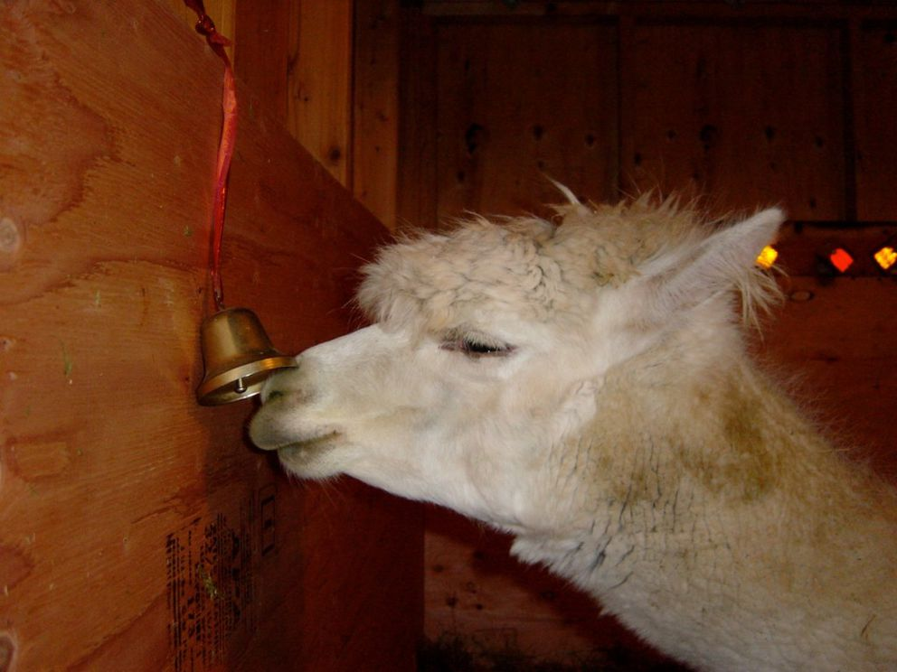 Gypsy loves to ring his bell, whether it's hung in the barn or outside. (Nina Faust)