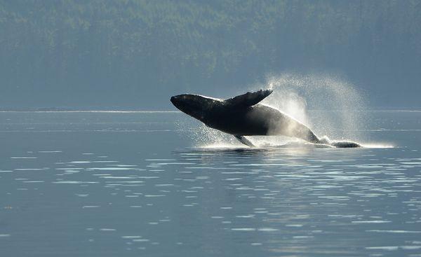 A humpback breaches off of Kupreanof Island. (Bob Hallinen / ADN)