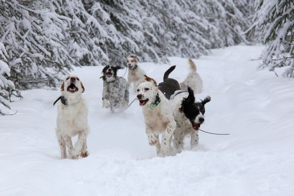 E-collar technology makes it possible for dogs to run free and happy on daily outings. Taken in Nikiski, February 2018. (Photo by Steve Meyer)