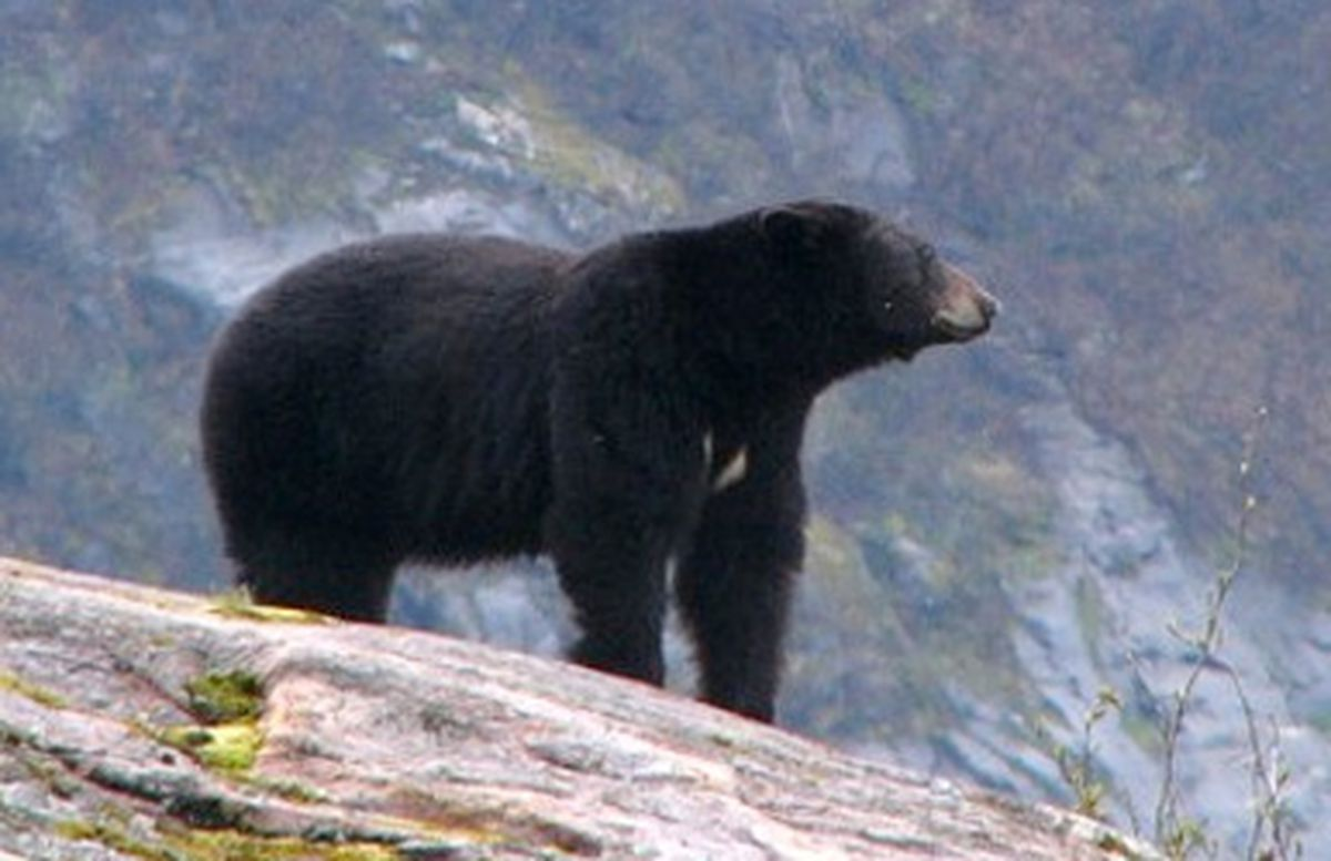 lone predatory black bears responsible for most human attacks