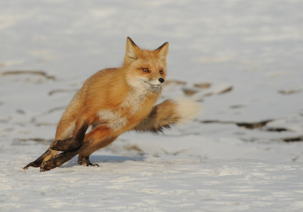 This fox was startled — and started to bolt. (Bob Hallinen / ADN)