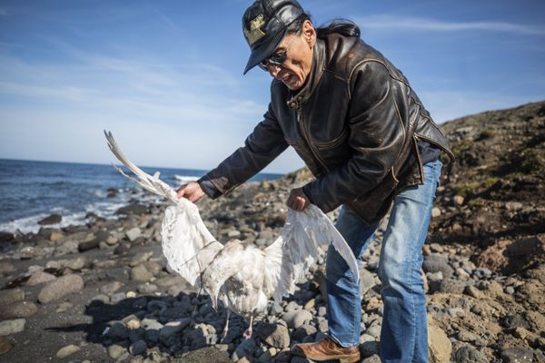 Delbert Pungowiyi holds a seagull carcass found on the beach that runs along the village of Savoonga, on the Bering Sea island of St. Lawrence, where there have been a series of seabird die-offs. (Steve Ringman / Seattle Times)