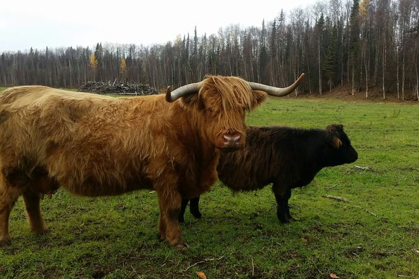 Highland cow Pegmatite (left) died Oct. 31, 2017 near Talkeetna. Her calf (not pictured) was found dead of a gunshot wound the next day. (Photo provided by Sariah Asher)
