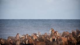 Federal appeals court rejects Trump administration move to weaken walrus protections