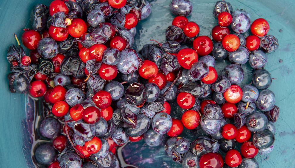 A breakfast of cranberries and blueberries picked fresh from the tundra at Esieh Lake in northwestern Alaska. (Washington Post photo by Jonathan Newton)