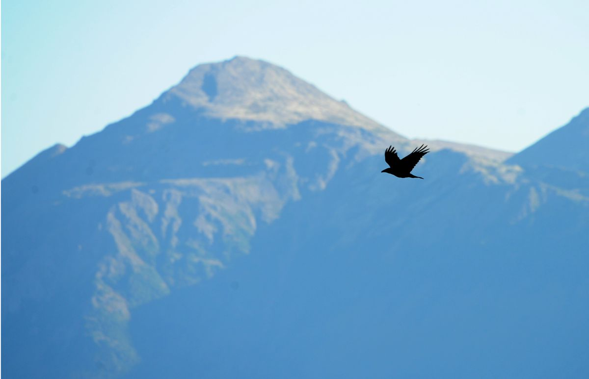 A raven flies over Potter Marsh along the Seward Highway across from Turnagain Arm, with the Kenai Mountains in the background. (Bob Hallinen / Alaska Dispatch News)