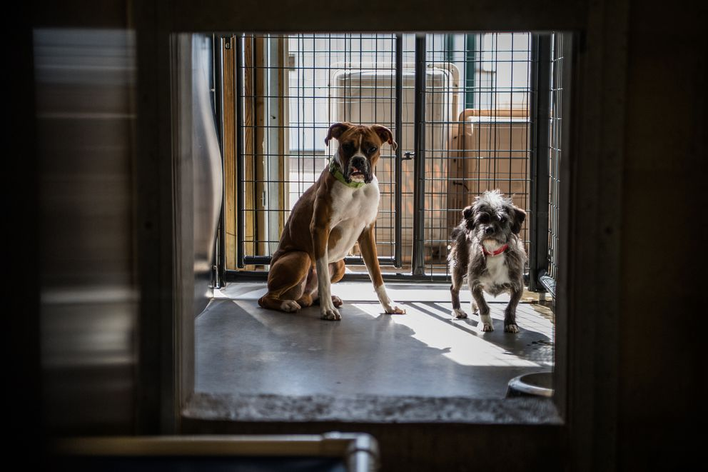 A 9-month-old boxer and 5-year-old dachshund mix are seen at the National Mill Dog Rescue. (Washington Post photo by Salwan Georges)
