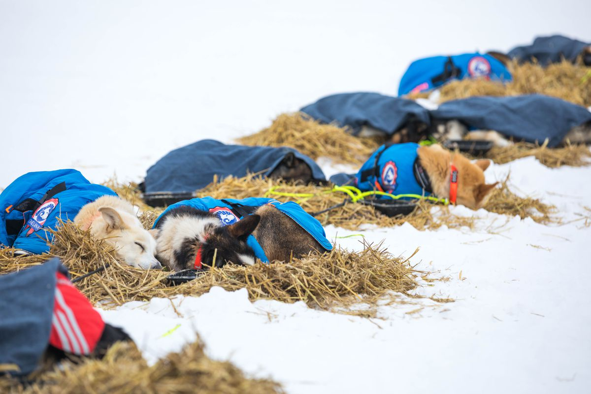 Joar Leifseth Ulsom's dogs rest in White Mountain near the end of their championship run in March. (Loren Holmes / ADN)