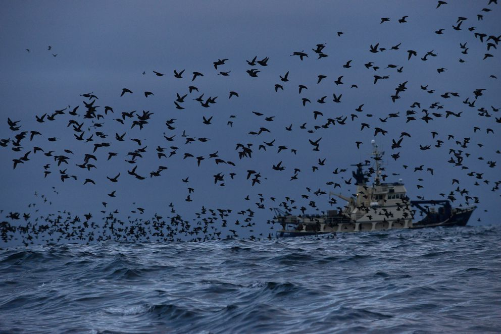 The U.S. Fish and Wildlife Service research boat Tiglax stops at Kiska Island to look at a colony of least auklets and crested auklets in the Aleutian Islands on June 5, 2015. The colony contains millions of auklets. (Bob Hallinen / Alaska Dispatch News)