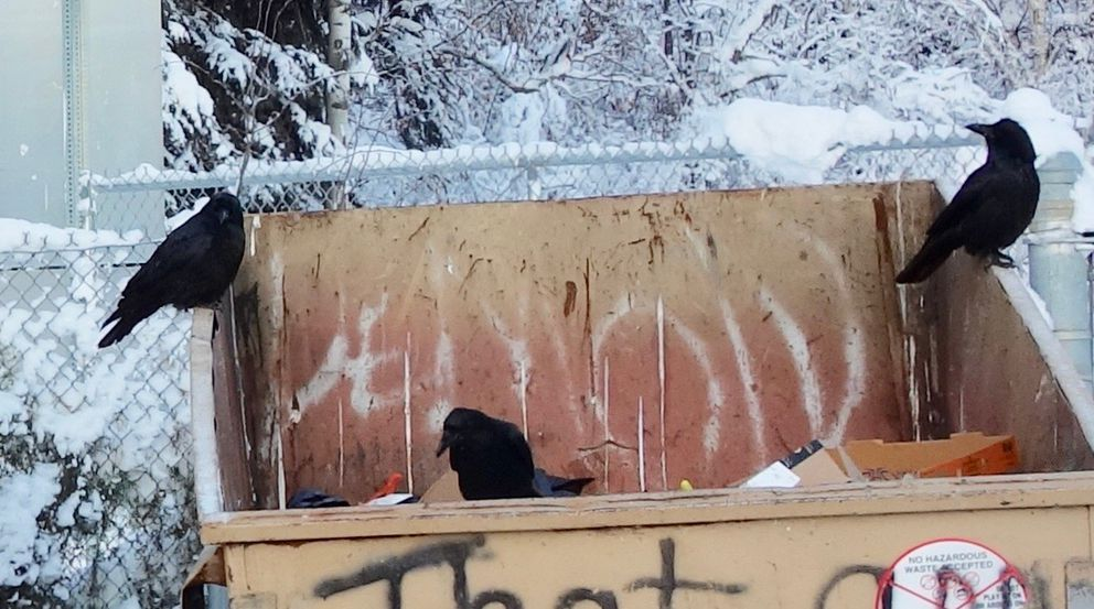 Ravens at a dumpster in Fairbanks at 10 below zero. (Photo by Ned Rozell)