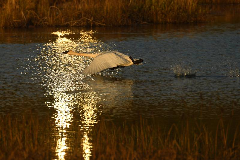 Swans pause in Anchorage on their way south for winter