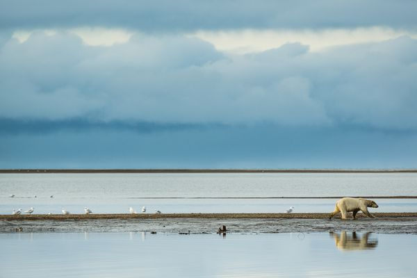A polar bear walks along the beach in Kaktovik, Alaska on Sept. 10, 2012. (Loren Holmes / ADN archive)