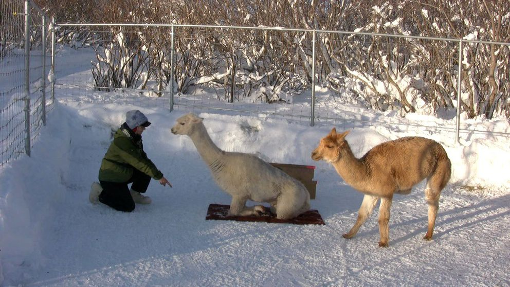 """Teaching an alpaca to """"cush"""" or sit on a rug takes some patience. First, the alpaca has to learn to stand on the rug which can be scary for an alpaca. Once that is mastered, asking the alpaca to sit down on it follows fairly easily. Gypsy seems to like it. (Nina Faust)"""