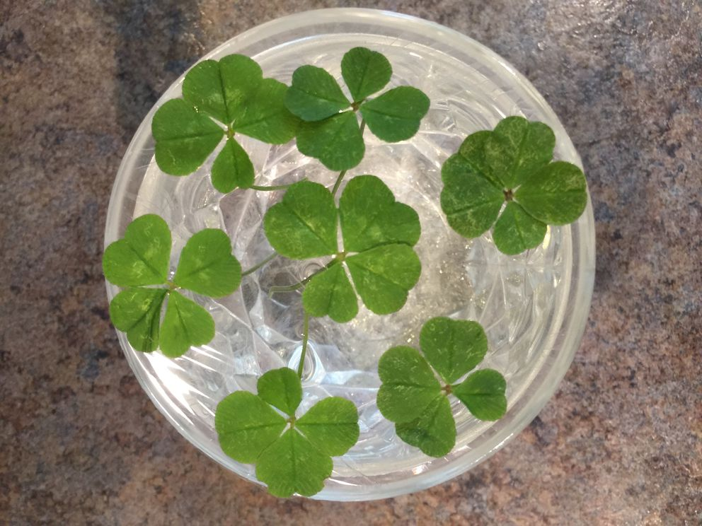 In An Anchorage Yard A Rare Bumper Crop Of Four Leaf Clovers Is