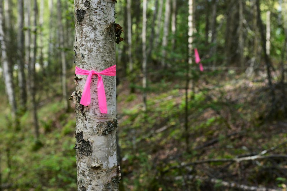 Flagging marks the route a singletrack trail will follow along the north end of Mirror Lake. (Erik Hill / Alaska Dispatch News)