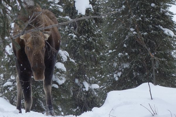 In winter, moose need to eat about 30 pounds of frozen twigs daily to survive. (Photo by Ned Rozell)