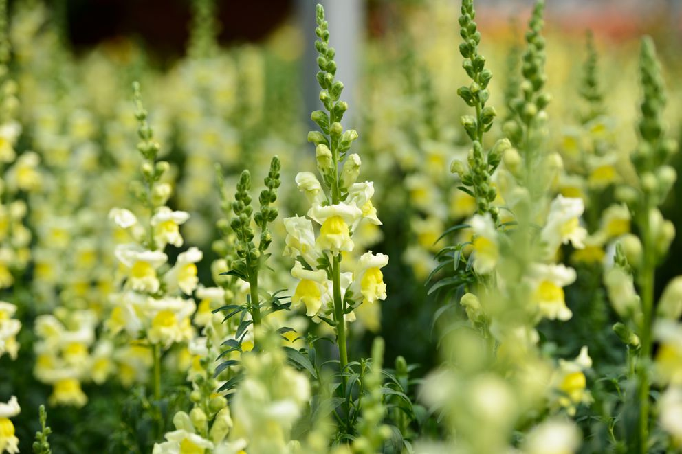 Snapdragons are partially in bloom on May 22, 2017. Anchorage's Horticulture Complex and the Mann Leiser Memorial Greenhouse are bursting with color this month as city gardeners prepare to beautify parks and public spaces. (Marc Lester / Alaska Dispatch News)