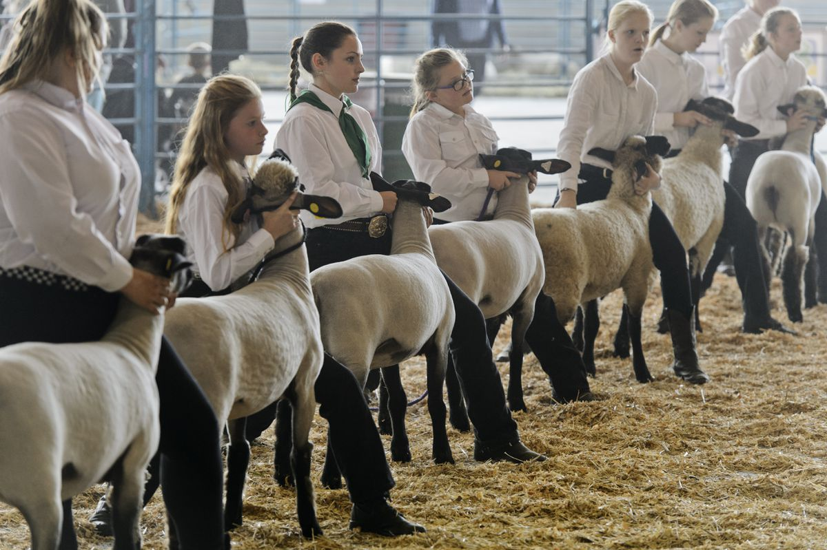 Sheep are presented to the judge. (Marc Lester / ADN)