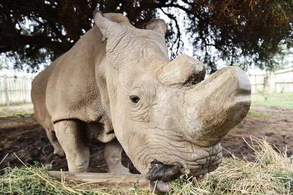 Sudan, the last male northern white rhino, feeds himself inside an enclosure at Ol Pejeta Conservancy in Nanyuki, Kenya, on April 18, 2015. Sudan has died. (Sun Ruibo/Xinhua/Sipa USA/TNS)