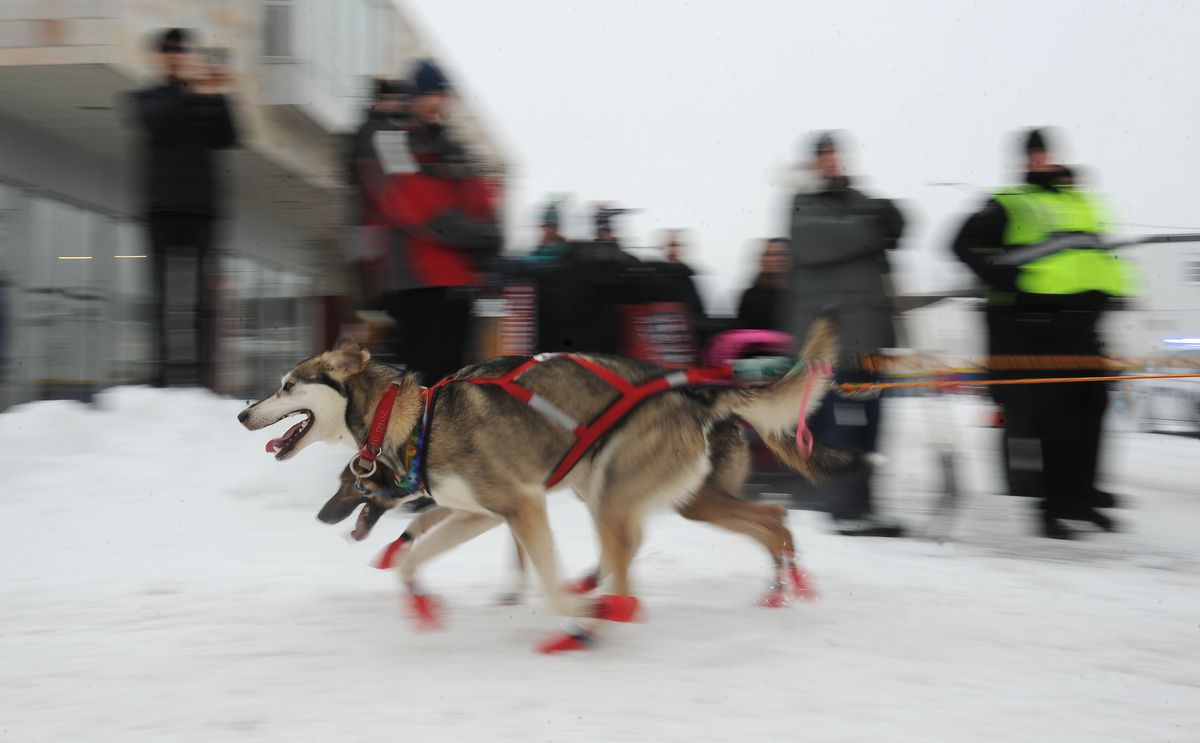 Dogs on the team of rookie musher Tara Cicatello charge down4th Avenue during the ceremonial start March 3 in Anchorage. (Bob Hallinen / ADN)