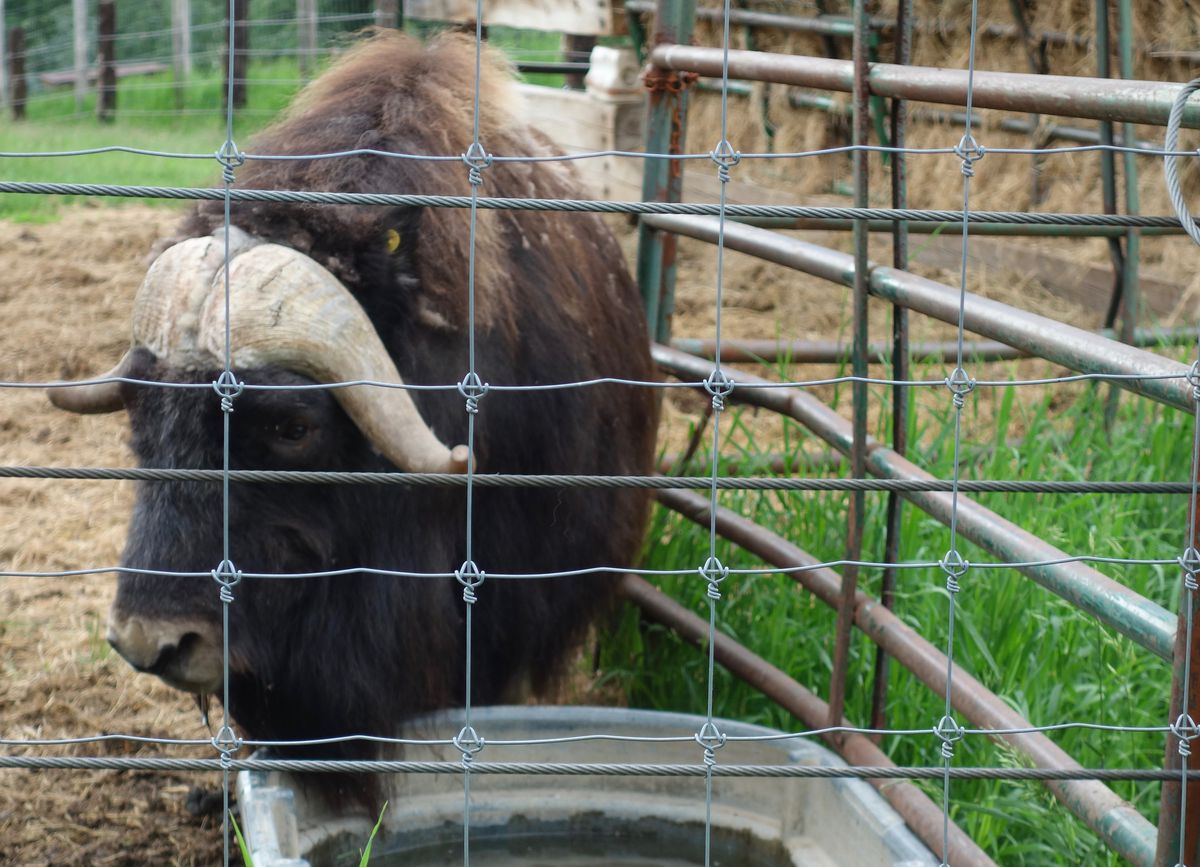 A musk ox in summer 2021 at UAF's Robert White Large Animal Research Station in Fairbanks. (Photo by Ned Rozell)