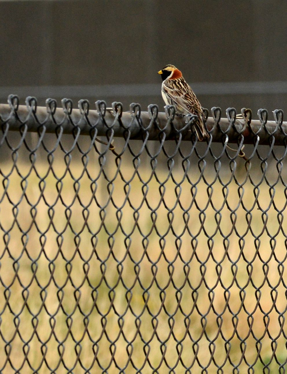 A Lapland longspur sits on a fence in the housing area of the former military base on Adak Island on June 5, 2015. (Bob Hallinen / Alaska Dispatch News)