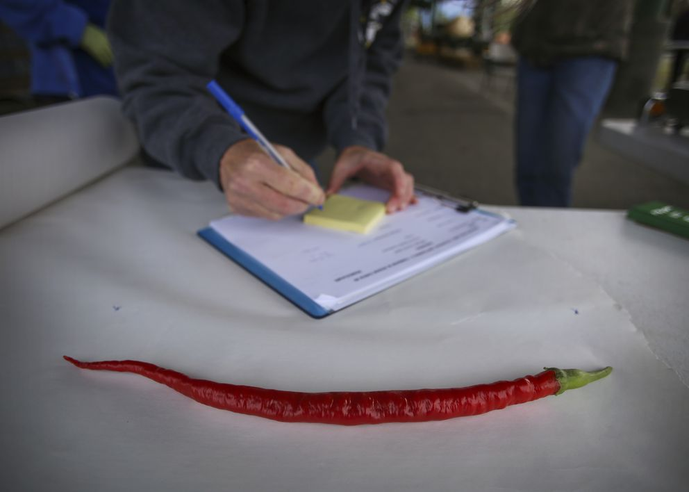 Deb Blaylock's 14.5-inch hot pepper, a new Alaska State Fair record, is measured during Harvest Fest 2020. (Emily Mesner / ADN)