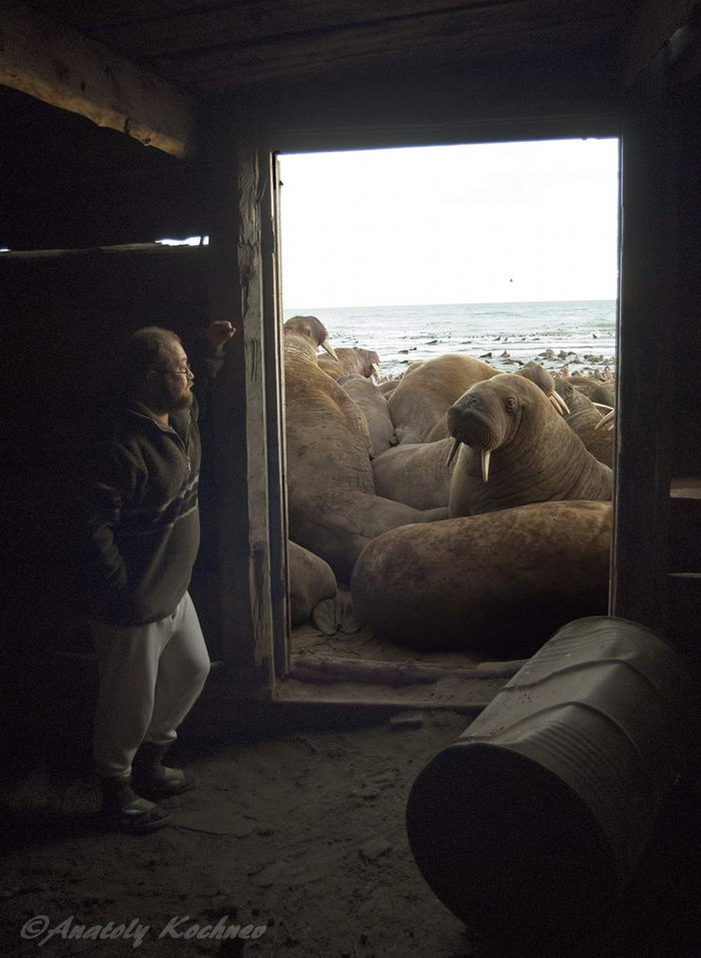Cape Serdtse-Kamen has been reported as a walrus haulout since the 1920s. Up until 1990 it was used by walruses irregularly, only in autumn of years when sea ice was absent. During the 1990s and 2000s local residents reported that walruses began to hauling out annually in larger numbers.(Anatoly Kochnev / Mammals Ecology Lab Institute of Biological Problems of the North Far East Branch, Russian Academy of Sciences)