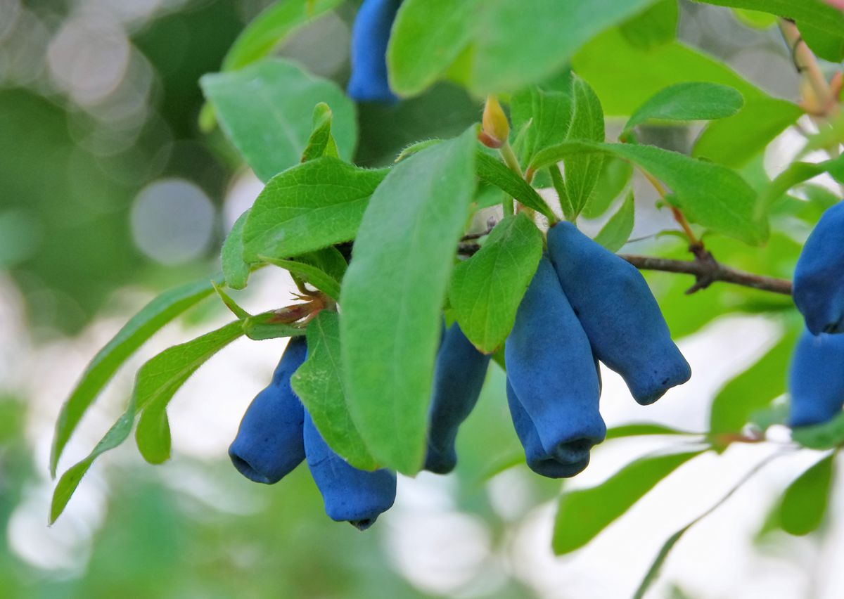 """Those oblong """"blueberries"""" are actually """"honeyberries,"""" borne on a plant that is a member of the honeysuckle family, Lonicera caerulea, better known as haskaps. (Getty Images)"""