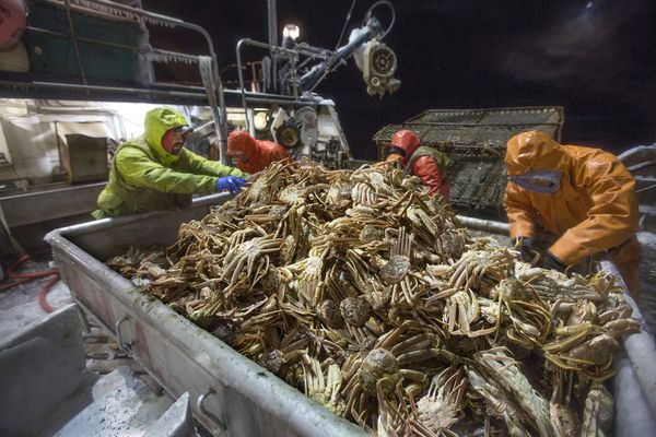 Deckhands aboard the crab boat Arctic Hunter in the Bering Sea off Alaska separate male and female snow crab, March 21, 2013. (Steve Ringman / Seattle Times)