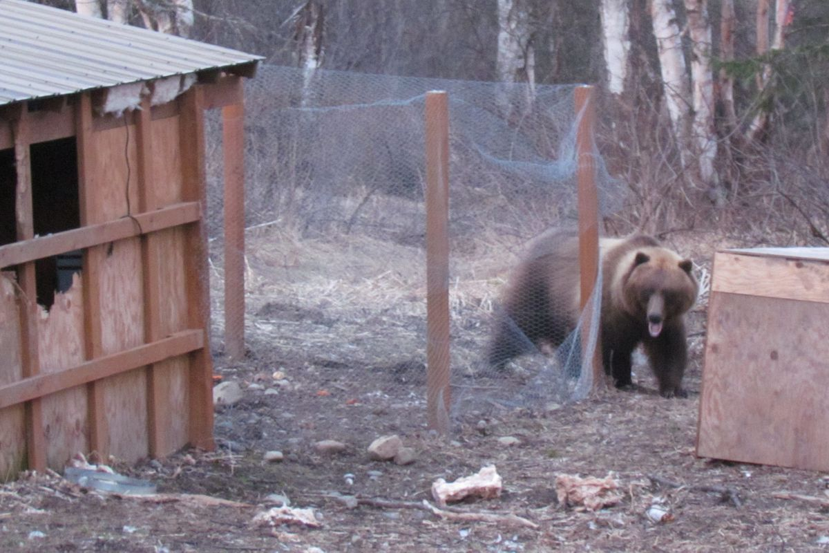 Image result for Photo bear attacking chickens