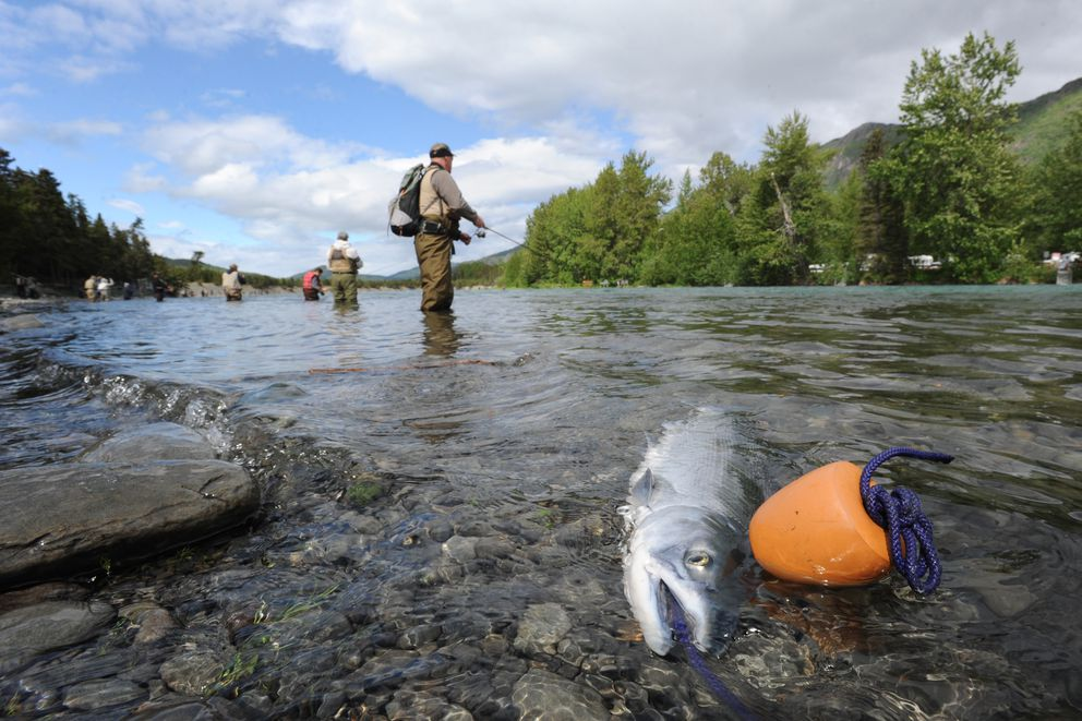 A sockeye on a stringer on the opening day of fishing near the Russian River Ferry crossing on the Kenai River in 2017. (Bill Roth / ADN)