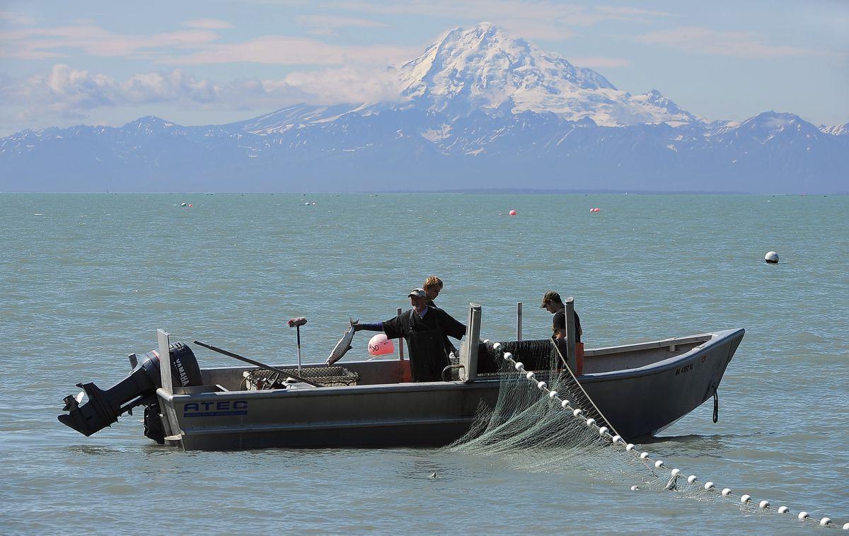 Mount Redoubt looms as setnetters pick out red salmon in 2015, off Kalifornsky Beach Road in Kenai. (ADN archive)