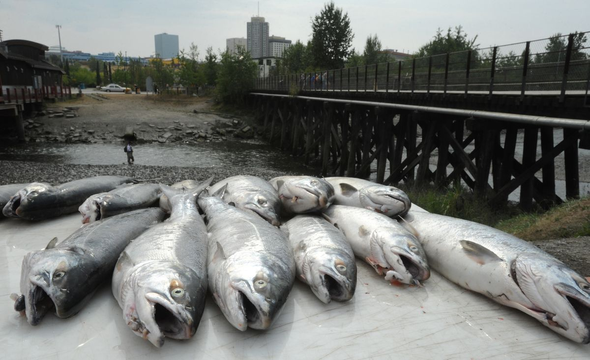 Coho (silver) salmon rest on a cleaning station at the Bait Shack after they were caught by a group of anglers during a guided fishing experience at Ship Creek on Tuesday, July 23, 2019. (Bill Roth / ADN)
