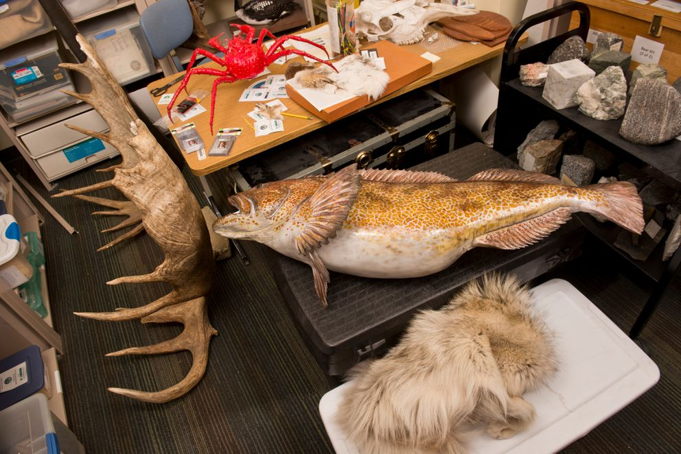 A full moose rack and a large ling cod are two big items in the Furs, Mounts and Skulls storage room. The Furs, Mounts and Skulls collection is part of Alaska Resources Library and Information Services and located inside the Consortium Library at UAA.