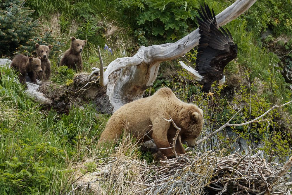 A brown bear sow and her three cubs tangle with eagles on an eagle nest in Katmai National Park, June 7, 2018. (Photo by Jeff Schultz / Jeff Schultz Photography) ONE TIME USE