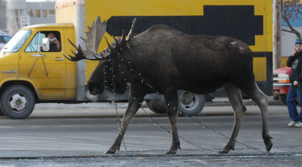 A bull moose dragging strands of Anchorage Town Square holiday lights attracts attention from passersby along 7th Avenue, Tuesday morning November 27, 2007. (Erik Hill / Anchorage Daily News)