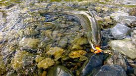 Hungry grayling await anglers willing to hike to beautiful Alaska mountain lakes