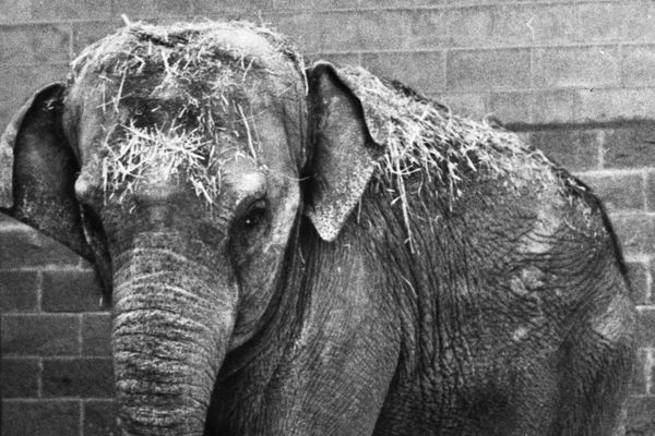 The African elephant Maggie arrived at the Alaska Zoo in Anchorage in 1983 as a one year old, and was dwarfed by the zoo's resident Asian elephant, Annabelle. (ADN Archive / Fran Durner)