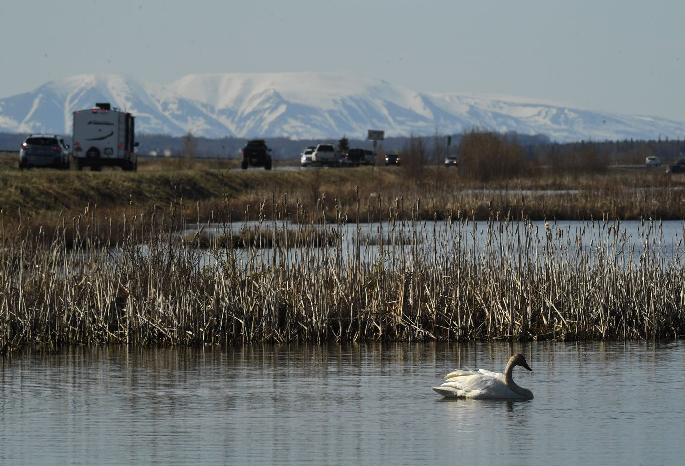 One of a pair of nesting trumpeter swans feeds in Potter Marsh as traffic moves along the Seward Highway May 9, 2020. Mount Susitna rises in the background. (Photo by Bob Hallinen)
