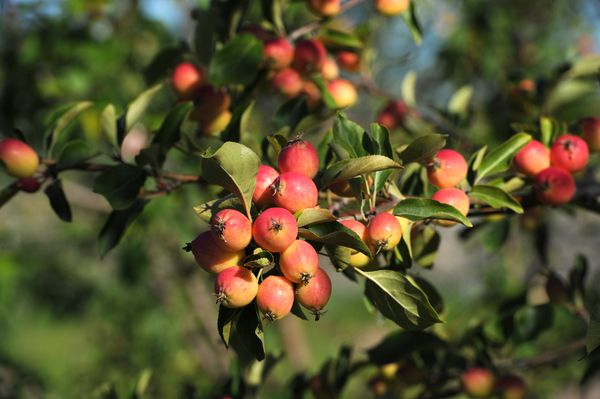 Crab apples soak up the morning sun at the Government Hill Commons and community orchard. (Bill Roth / ADN)
