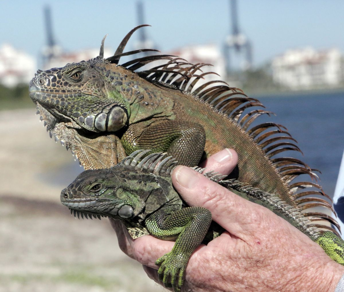 Conservation biologist Joseph A. Wasilewski holds male (top) and female green iguanas that he trapped in Miami. (Jose A. Iglesias/el Nuevo Herald/TNS/File)